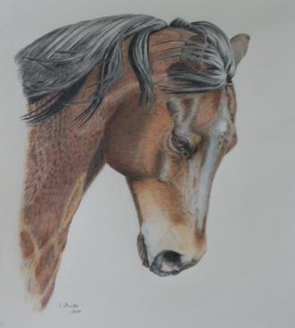 Pferdezeichnung / horse drawing, Pferdeportrait, horse portrait, Quarterhorse