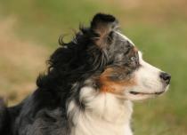 Fotovorlage Australian Shepherd / photo australian shepherd