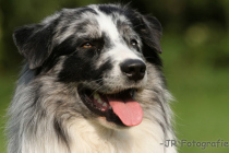 Photo Australian Shepherd Portrait
