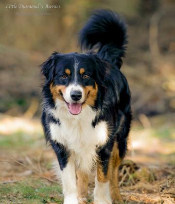 Referenzfoto für Hundezeichnung, Aussieportrait