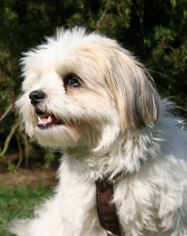 Referenzfoto für Hundeportraitzeichnung Shira