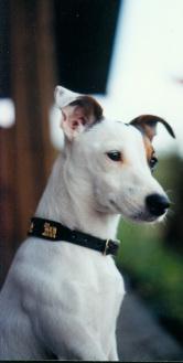 Jack Russell Terrier 1 Referenz Fam. Schenda
