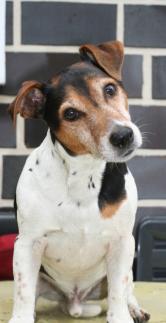 Jack Russell Terrier 2 Referenz (eigene)