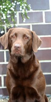 Labrador Retriever Gina Referenz (eigene)