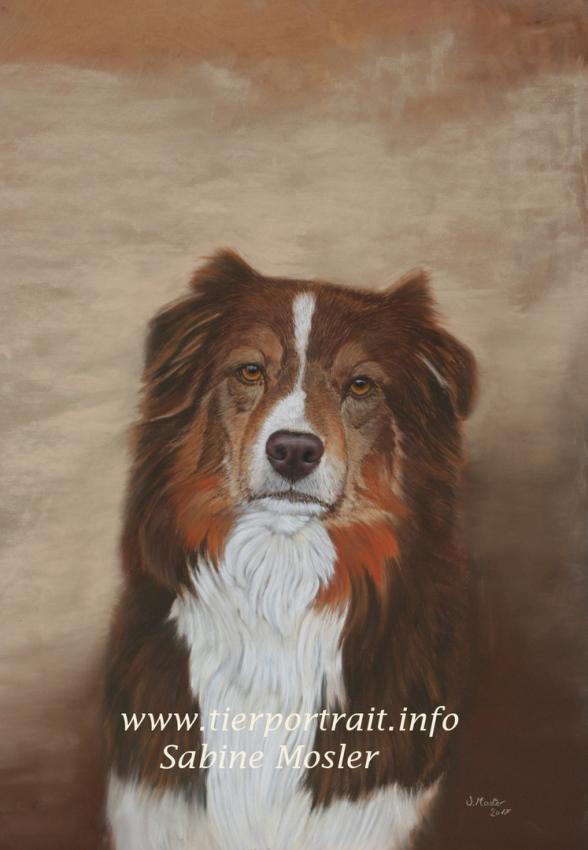 Hundeportrait Hundezeichnung Australian Shepherd dog art